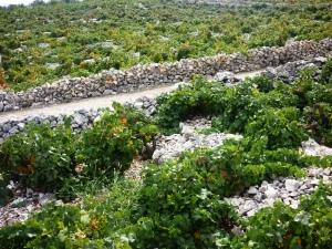 Babić vineyard