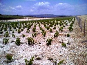 New Babić plantings near Šibenik