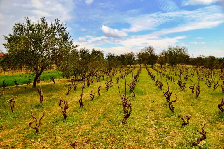 BIBICh Lučica vineyard (Copyright © Cliff Rames)