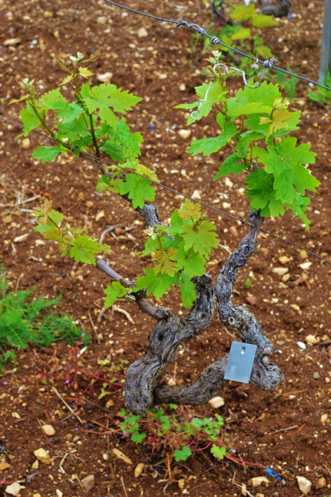 "One of the ""Original Zin"" (Crljenak Kastelanski) vines found in the Radunic vineyard (photo by Cliff Rames)"