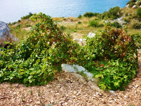 Heritage Tribidrag vines subsequently discovered on Peljesac, currently part of Benmosche Family Vineyards (photo by Cliff Rames)